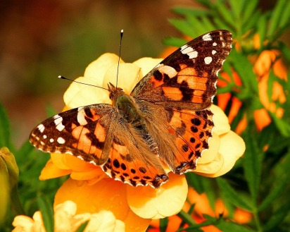painted-lady-butterfly-55995_1280